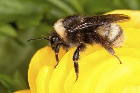 western20bumblebee