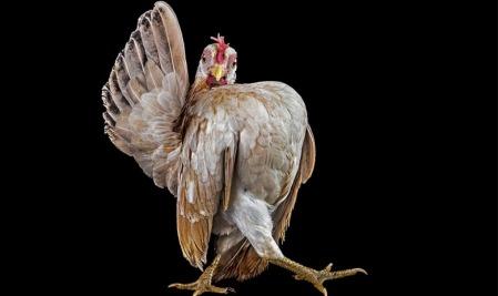 chicken-beauty-pageant-ernest-goh